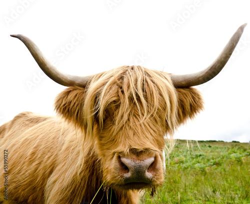 Fototapety, obrazy: Scottish Highland Cow