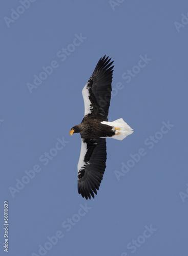 Poster Aigle Stellers sea-eagle, Haliaeetus pelagicus
