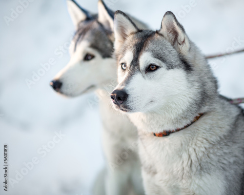 Two siberian husky dogs closeup portrait
