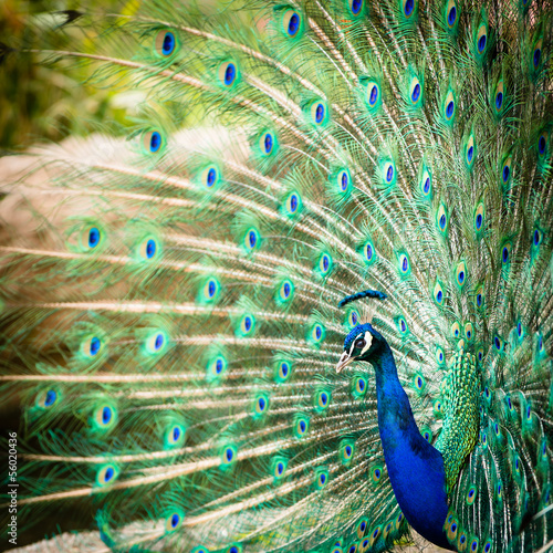 Fotografie, Obraz  Splendid peacock with feathers out (Pavo cristatus)