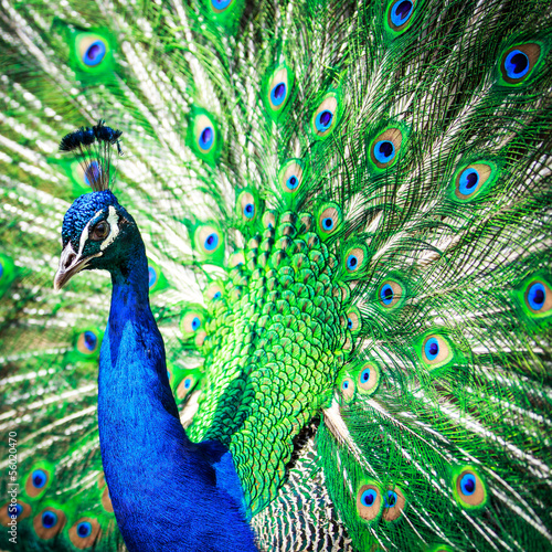 Papiers peints Paon Splendid peacock with feathers out (Pavo cristatus)