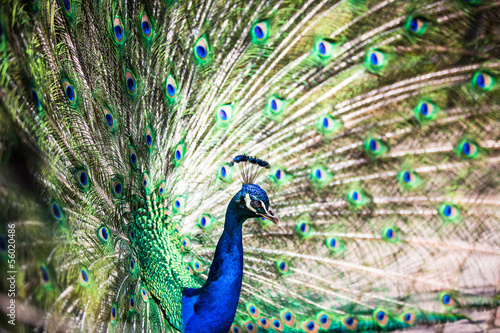 Splendid peacock with feathers out (Pavo cristatus) Fototapet