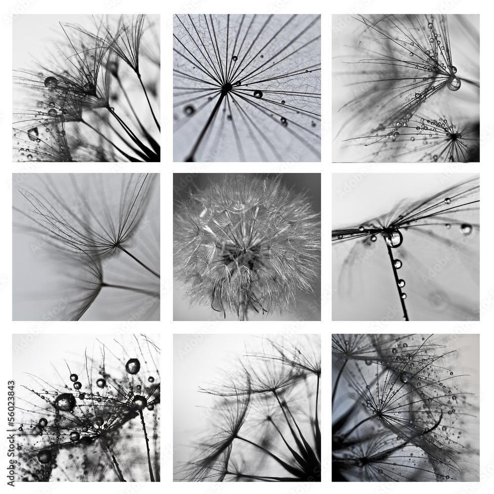 Fototapety, obrazy: Collage ze zdjęć makro wielkiego dmuchawca