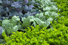 Vegetable Garden With Cabbage ...