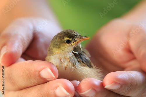 Fotografering  Sparrow on human hands