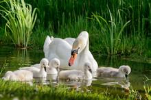 Big Swan Family