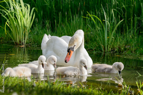 Photo sur Toile Cygne Big swan family