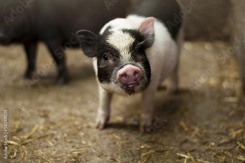 Vietnamese piglet