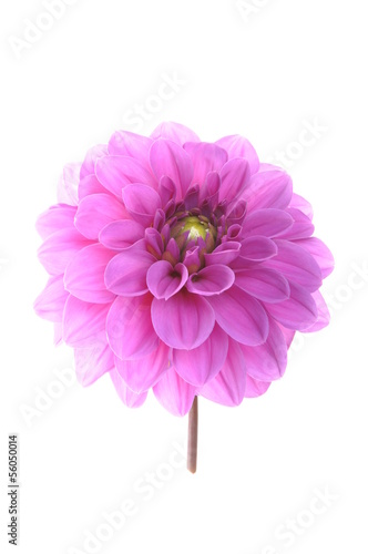 Poster de jardin Dahlia Pink flower dalia isolated on white background
