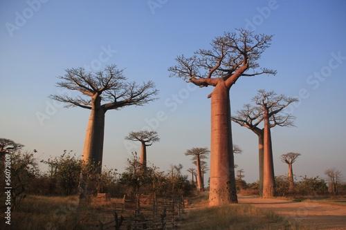 Foto op Canvas Baobab des baobabs