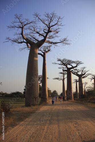 In de dag Baobab allée de baobabs