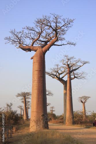 Keuken foto achterwand Baobab baobabs