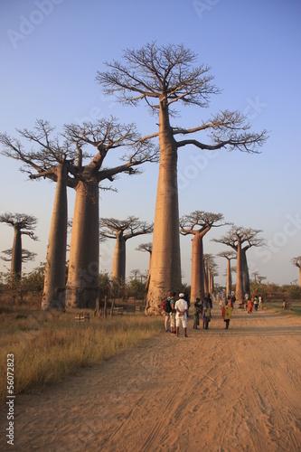 In de dag Baobab l'allée des baobabs