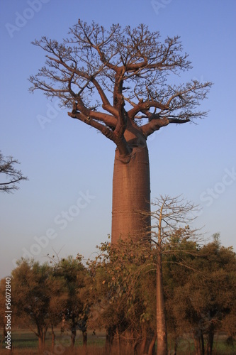 Keuken foto achterwand Baobab un gros baobab