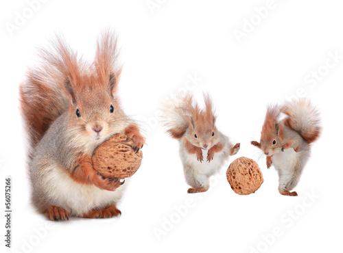 Photo sur Aluminium Squirrel squirrel