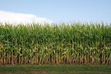 Field Of Corn