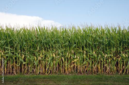Fényképezés Field of corn