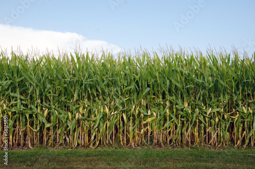 Field of corn Canvas-taulu