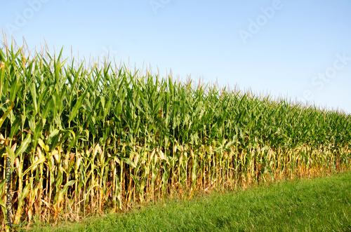 Valokuvatapetti Field of corn