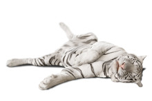 Big White Tiger