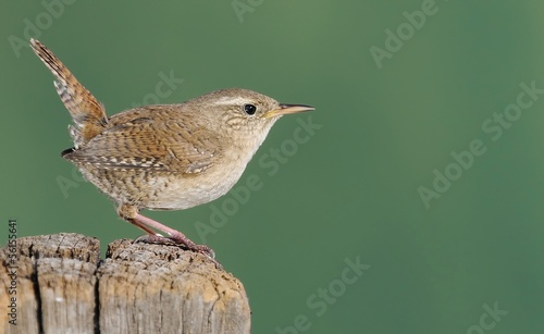 Fotomural Winter wren on green background