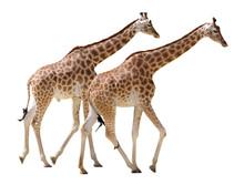 Isolated Two Giraffes Walking