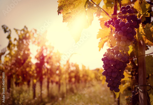 Valokuva  Vineyard at sunset in autumn harvest.