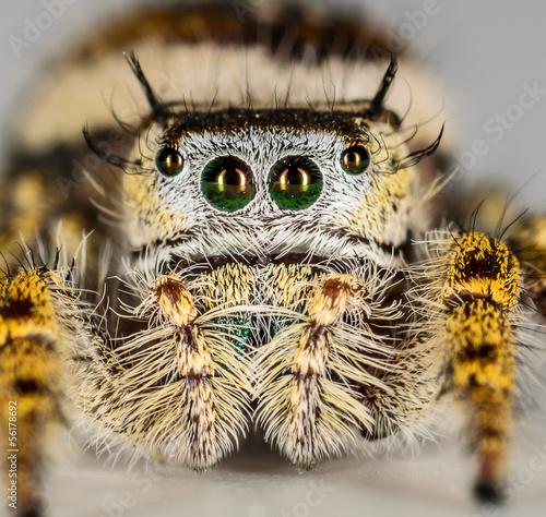 Deurstickers Hand getrokken schets van dieren Small Brown and Yellow Jumping Spider Macro