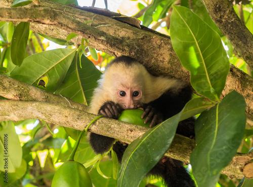 Valokuva White faced capuchin