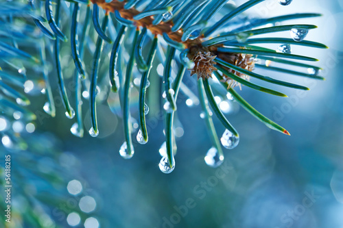 Canvas Print Blue spruce with drops of snow melting, macro