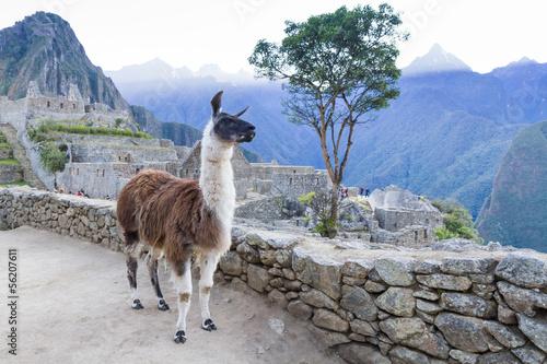 Poster Lama Lama in Machu Picchu, Peru