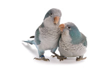 Young Blue Quakers, Myiopsitta Monachus, On A White Background.