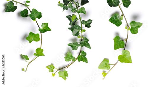 Obraz na płótnie ivy twigs