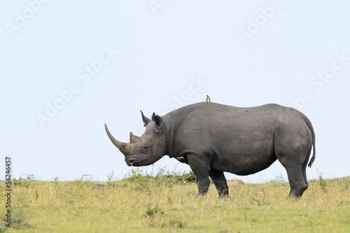 Foto op Aluminium Stierenvechten Black rhino on grass.