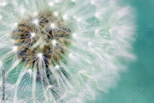 Poster Paardenbloem Dandelion fluffy seeds over blue
