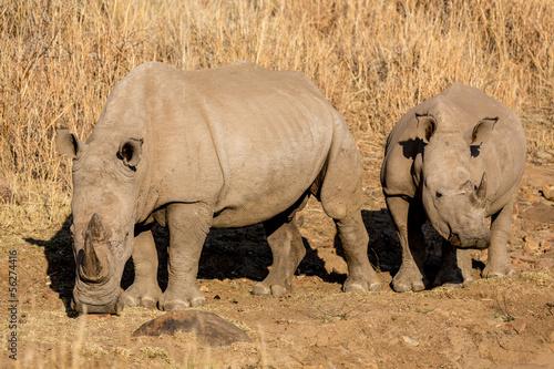 Foto-Schiebevorhang (ohne Schiene) - Rhinos grazing (von derejeb)