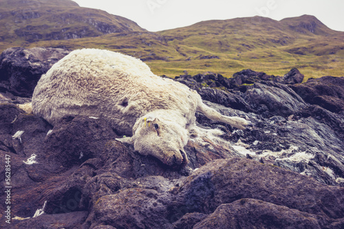 Foto op Aluminium Aubergine Dead and decomposing sheep in mountain landscape