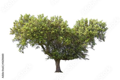 Fotografia, Obraz  Holm oak isolated on white background