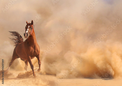 Foto auf AluDibond Wuste Sandig Arabian horse running out of the Desert Storm