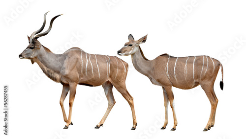 greater kudu isolated on a white background