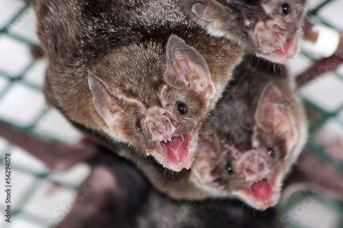 Fotografie, Obraz  Common vampire bat (Desmodus rotundus) in a zoo
