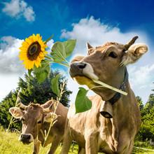 Alles Liebe Zum Geburtstag / Kuh Mit Sonnenblume