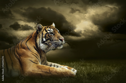 Poster Tijger Tiger looking and sitting under dramatic sky with clouds