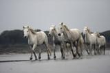 Camargue white horse - 56326247