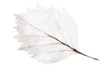 Light Leaf Skeleton Isolated On White