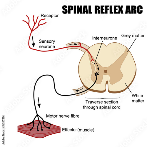Fotomural  Spinal Reflex Arc