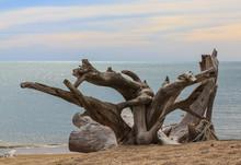 Old Stumps Interesting On Beaches
