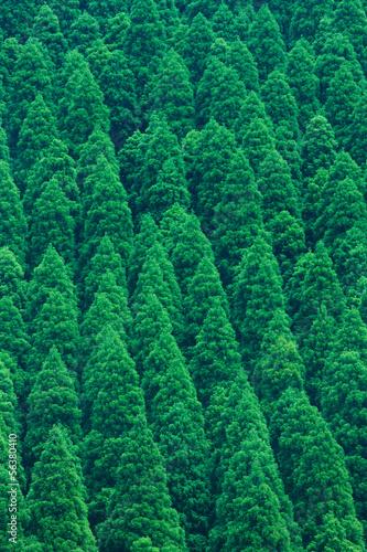 Wall Murals Forest 杉