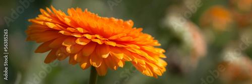 Orange flower banner #56385263