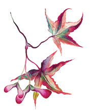Japanese Maple Leaves With Seeds